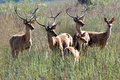 Group of swamp deers Royalty Free Stock Photo