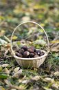 Group of sweet chestnuts in the grass and autumn leaves, small wicker basket Royalty Free Stock Photo