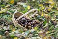 Group of sweet chestnuts spilled in the grass and autumn leaves, small wicker basket Royalty Free Stock Photo