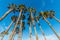 Group of Tall Palm Trees with Blue Sky and Clouds Royalty Free Stock Photo