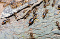 Group of termite wood eater Stock Image