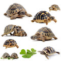 Group testudo hermanni tortoises white isolated background Stock Image