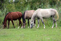 Group of thoroughbred arabian foals and mares grazing fresh gree beautiful purebred horses on pasture summertime Stock Photo