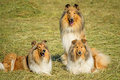 Group of three collie dogs lying on hay Royalty Free Stock Photo