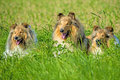 Group of three collie dogs lying on a meadow Stock Images