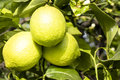 Group of three green lemons from sicily on the tree Royalty Free Stock Photo