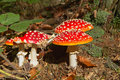 Group of toadstools in the forest Royalty Free Stock Photo