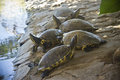 Group of turtles resting by the pond Royalty Free Stock Images