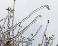 Group of twigs with leaves engulfed with deep layer of ice covered in winter Royalty Free Stock Photo