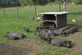 A group of vietnamese black small pigs play and sleep in the grass Stock Photo