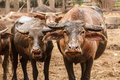 Group of water buffalo in country farm thailand southeast asia Royalty Free Stock Photo