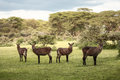 Group of Waterbuck in Africa Royalty Free Stock Photo