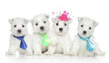 Group of wesy puppies west highland white terrier on white background Royalty Free Stock Images
