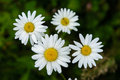 Group of white daisies Royalty Free Stock Photo