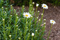 Group of white daisies just starting to bloom Royalty Free Stock Photo