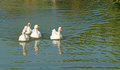 Group of white domestic goose in pond swimming Royalty Free Stock Images