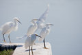 Group Of White Egrets Royalty Free Stock Photography