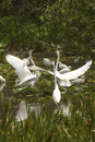 Group of white egrets wading in a swamp in Florida. Royalty Free Stock Photo