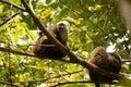 Group of White-fronted Lemur, Eulemur albifrons, resting on a tree, the national park Nosi Mangabe, Madagascar Royalty Free Stock Photo
