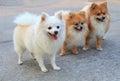 Group Of White Pomeranian Dog ...