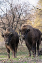 Group of wild european bison bison bonasus in autumn deciduous or wisent forest Stock Photo