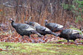 Group wild turkeys heading wooded area Royalty Free Stock Image