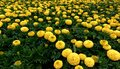 Group of yellow marigolds field flowers Stock Photography