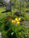 Group of yellow tulips in the garden on a background of green grass, tree, well. Spring sunny day Royalty Free Stock Photo