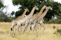 Group of young giraffes Royalty Free Stock Image