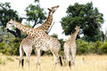Group of young giraffes Stock Image