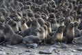 Group of young northern fur seal rookery on autumn Royalty Free Stock Photo