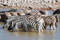 Group zebra Etosha National park Stock Photography
