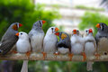 Group of zebra finch birds finches perched on branch green background Stock Images