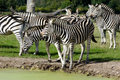 Group of zebras Royalty Free Stock Images