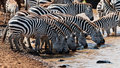 Group of zebras drinking water at the river Stock Images