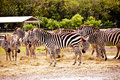 A Group Of Zebras Royalty Free Stock Photo