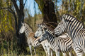 Group of zebras in the wild Royalty Free Stock Photo