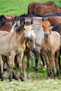 Groupe de chevaux regardant l appareil photo Image stock