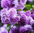 Groupe de fleur lilas violette Photo stock