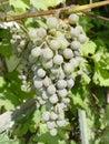 Groupe de raisins dans la vigne Photographie stock libre de droits