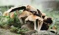 Grouped forest mushroom white on my backyard Royalty Free Stock Image