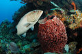 Grouper fish and barrel sponge Royalty Free Stock Photos