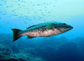 Grouper mycteroperca fusca in canary islands spain Stock Photo