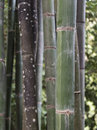 Grouping of bamboo plants Royalty Free Stock Photo
