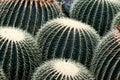 A grouping of barrel cactus Stock Photos