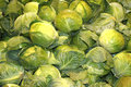 Grouping of fresh green cabbages harvested group Royalty Free Stock Image