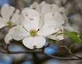 A grouping of white dogwood flowers Royalty Free Stock Photo