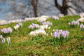 Groups of crocuses Stock Images