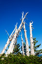 Grove of dead trees a group and now white pine on mount hood in oregon Stock Image