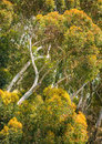 A grove of eucalyptus trees native to australia and naturalized in california invading native plant habitats stands along the Royalty Free Stock Photography
